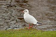 Herring Gull in profile, at a university Lake in Aarhus, Denmark, standing on the embankement.