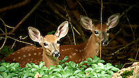 Pair of Resting Fawns. Backyard Nature in my Backyard -- Summer in New Jersey. Image taken with a Nikon D700 and 28-300 mm lens (ISO 1600, 300 mm, f/5.6, 1/30 sec). Raw image processed with Capture One Pro 6, Nik Define 2, and Photoshop CS5.