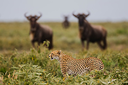 A hunting cheetah  (Acinonyx jubatus) walking in front of an alerted herd of wildebeest (Connochaetes) during the calving season, Ndutu, Ngorongoro Conservation Area, Tanzania, Africa