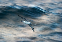 Shy Albatross (Thalassarche cauta) in flight, Auckland Islands, New Zealand