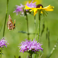 Fritillary butterfly in flight, descending toward a horsemint blossom in a mountain meadow, with a black-eyed Susan in the background. Jemez Mountains, NM. © 2010 David A. Ponton