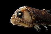 Sloane's viperfish, (Chauliodus sloani)