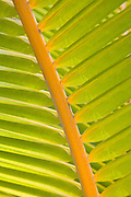 Green palm frond, Hawaii