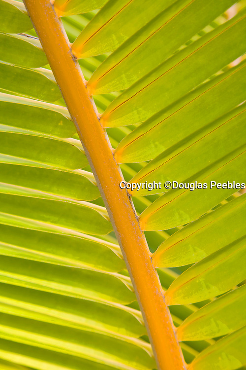Green palm frond, Hawaii
