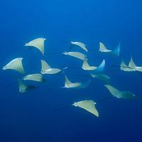 Ecuador, Galapagos Islands National Park, Isabella Island, Underwater view Pacific Cow Rays (Rhinoptera steindachneri)
