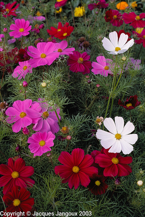 Ornamental Cosmos in garden
