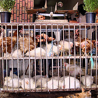 Chickens in Coop for Sale at Old Medina in Casablanca, Morocco<br /> These caged chickens squawked loudly as a threatening cat approached. The two Moroccan merchants were unfazed by the commotion. They knew this feline was not a paying customer.  However, they would spring into action when someone approached with dirham (Moroccan currency) in their pocket. After selecting a rooster or hen, a customer waits while their dinner has their neck twisted.
