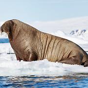 Atlantic walrus (Odobenus rosmarus rosmarus) sitting on ice, Svalbard.