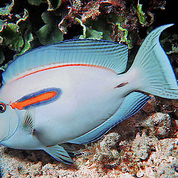Ocean Life is Al Harty's underwater photo series of sea life located mostly at Kwajalein Atoll, Marshall Islands.