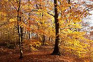 Europa, Deutschland, Nordrhein-Westfalen, Herbst im Wald am Ruhrhoehenweg im Ardeygebirge bei Wetter an der Ruhr. - <br /> <br /> Europe, Germany, North Rhine-Westphalia, autumn in a forest at the Ruhrhoehenweg in the Ardey mountains near Wetter.