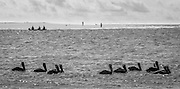 A flock of pelicans float in the channel between Ocean Isle Beach and Holden Beach.  They are one of several groups of fisherman in this image.