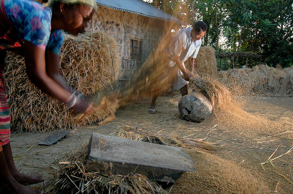 Rice is removed from the sheaves by beating it against rocks and concrete blocks. Rice is the staple food for the 147 million people that make up the population of Bangladesh. Most Bangladeshis obtain more than 70 % of their caloric intake from rice, and the per capita rice consumption in Bangladesh is higher than in any other country. Two-thirds of the country's population is engaged in rice production. Upper Dhaka Divistion, Bangladesh. 11/12/05 Photo by Ben Depp