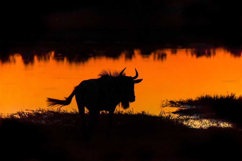 Blue wildebeest (gnu) after sunset at a watering hole, Kwando Concession, Linyanti Marshes, Botswana.