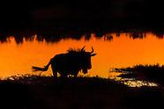 Botswana-Wildlife-Wildebeest