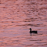 A male Mallard duck Anas platyrhynchos in silhouette at sunset on the Chesapeake, Annapolis, Maryland.