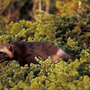 Wolverine, (Gulo gulo) Adult. Rocky mountains. Southwest Montana. Captive Animal.