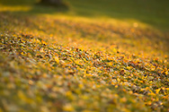 A golden carpet of Ash leaves on the lawn
