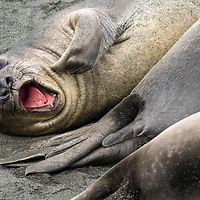 A southern elephant seal weaner yawns and scratches an itch at Gold Harbour on South Georgia Island.