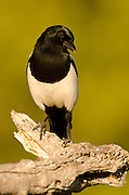 Close up of Common magpie (Pica pica)
