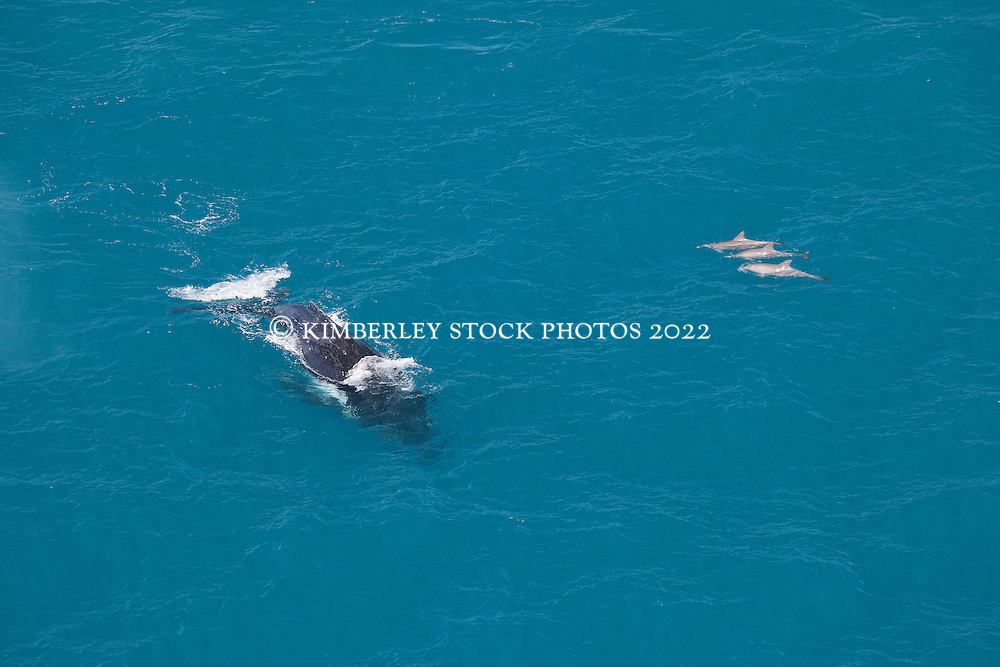 A pod of three Bottlenose dolphins approach a Humpback whale near Willie Creek north of Broome.