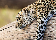 Wildlife of Kenya / Quenia, animais