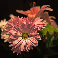 Pink daisies stand out against a black background