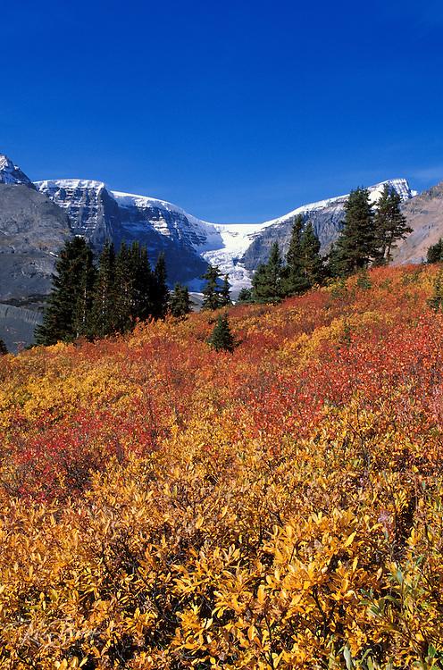 Fall willows on Wilcox Ridge under the Dome Glacier, Columbia Icefields area, Jasper National Park, Alberta, Canada.