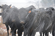 Cattle in Winter Snow