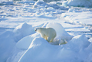 Polar Bear Mother & Cub<br />