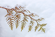A branch of a young Douglas fir (Pseudotsuga menziesii) tree is trapped in deep snow in Snohomish County, Washington.