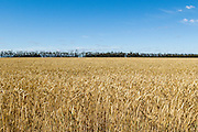 Field of golden wheat before harvesting on a farm  in rural Mingay, Victoria.