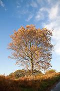 Golden autumn leaf colours oak tree Butley, Suffolk, England