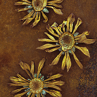 Three dried flowerheads of Chrysanthemum lying on rusty metal sheet