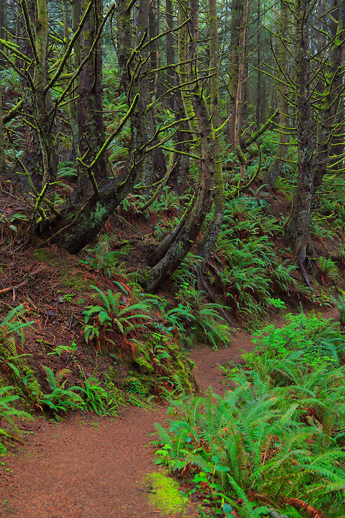 Trail Of Ferns And Mossy Trees - Oregon Coast
