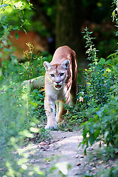 26 August 2008:  Cougar or Puma on the prowl along a trail in the woods (Photo by Alan Look)