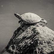 Turtle at Japanese Garden - Seattle, WA