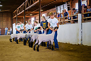16 JULY 2020 - BOONE, IOWA: The black face market ewe sheep judging on the first day of the Boone County Fair in Boone. Summer is county fair season in Iowa. Most of Iowa's 99 counties host their county fairs before the Iowa State Fair. In 2020, because of the COVID-19 (Coronavirus) pandemic, many county fairs were cancelled, and most of the other county fairs were scaled back to concentrate on 4H livestock judging. Boone county scaled back its fair this year. The Iowa State Fair was cancelled completely. Boone County Emergency Management did not approve going ahead with the fair, and has advised anyone who goes to the fair to take precautions and monitor themselves for symptoms of the Coronavirus.           PHOTO BY JACK KURTZ