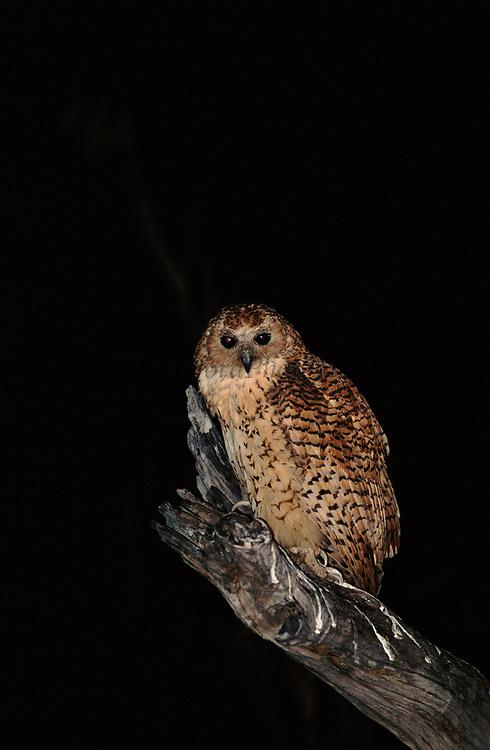 Pel's fishing owl at night, Okavango Delta, Botswana, Africa.