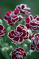 Dianthus 'Blackjack'
