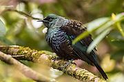Tui, endemic bird, New Zealand
