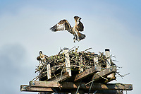 Young Osprey (Pandion haliaetus) tests it's wings while learning to fly at nest on artificial nesting perch, Petite Riviere, Nova Scotia, Canada