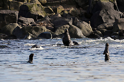 USA ALASKA  ST GEORGE ISLAND 6JUL12 - Young male Northern Fur Seals (Callorhinus ursinus) frolick in the waters off the island of St. George in the Bering Sea, Alaska...The Pribilof islands are a protected breeding ground for the fur seals and a prime birdwatching attraction.....Photo by Jiri Rezac / Greenpeace....© Jiri Rezac / Greenpeace