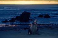 USA, Vereinigte Staaten Von Amerika: Nördlicher See-Elefant (Mirounga angustirostris), brüllender, gerade aus dem Pazifik robbender See-Elefantenbulle bei Nacht, Strand direkt neben California State Route 1, San Simeon, Kalifornien | USA, United States Of America: Northern Elephant Seal (Mirounga angustirostris), roaring bull elephant seal, crawling from Pacific coming over the beach at night, beach directly next to Cabrillo Highway 1, San Simeon, California |