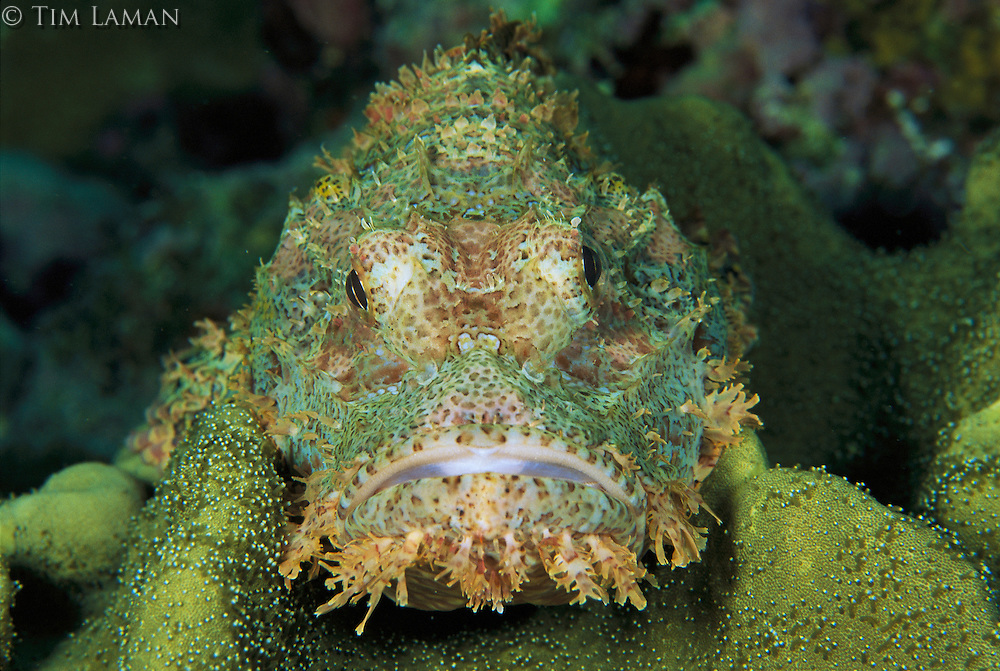 A close view of the face of a scorpionfish blending in with a leather coral.