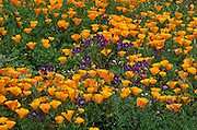 California Poppies (Eschscholtzia californica) and Wild Blue Flax (Linum perenne), Santa Monica Mountains National Recreation Area, California