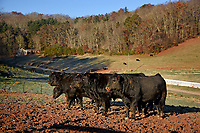 Cattle wait for their breakfast at the Mountain Research Station farms near Waynesville.