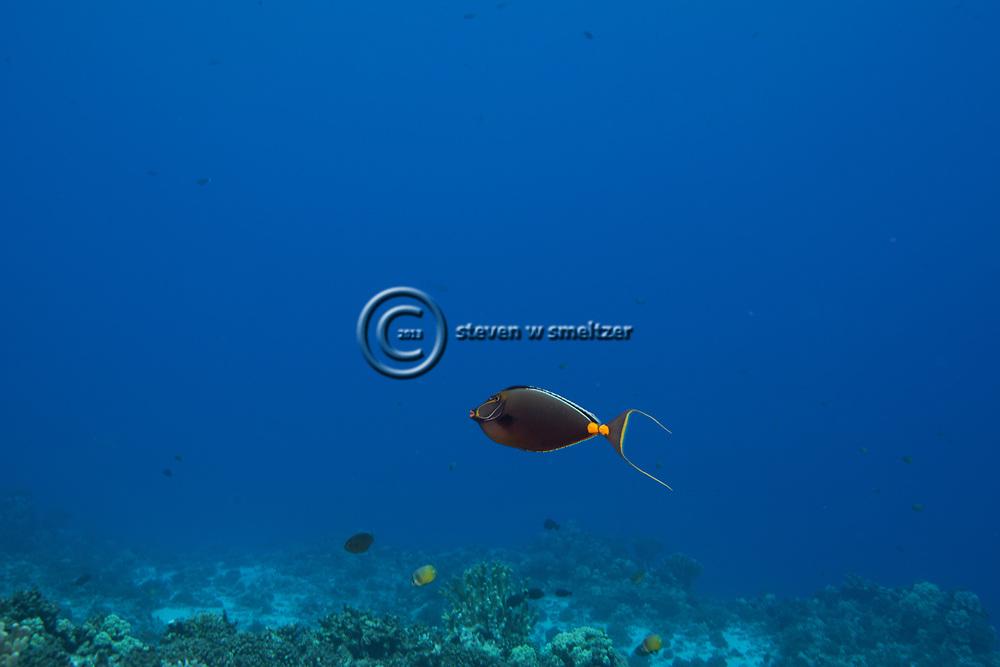 Orangespine Unicornfish, Naso lituratus, (Forster, 1801), Maui Hawaii
