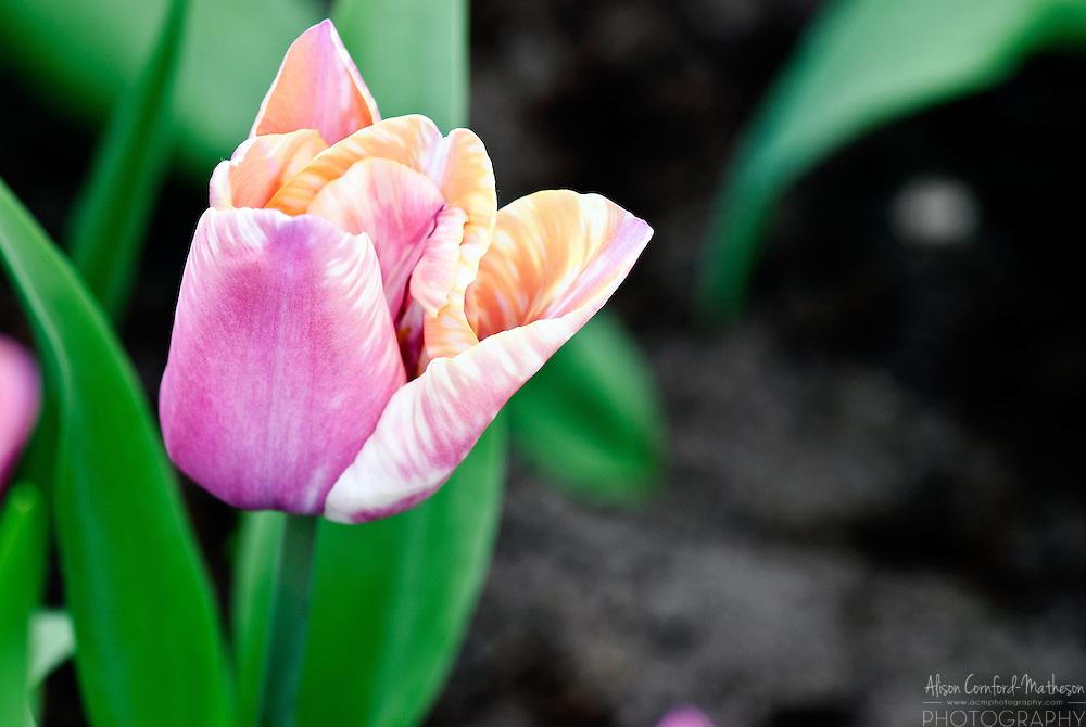 Triumph Tulip 'Yucatan' Keukenhof Spring Tulip Gardens, Lisse, The Netherlands.