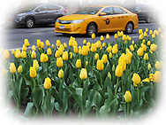 Yellow cab zooming by yellow tulips on Park Avenue.