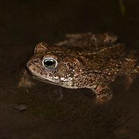 Natterjack toad (Bufo calamita), strandpadda; stinkpadda<br /> Location: Revingef&auml;ltet, Sk&aring;ne, Sweden